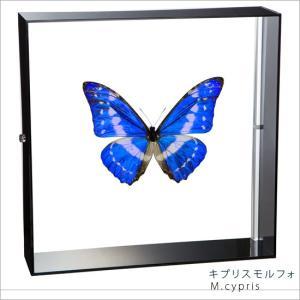 蝶の標本 キプリスモルフォ Morpho cypris モルフォチョウ アクリルフレーム 黒
