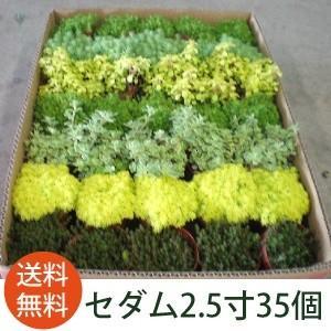 生花市場から直接お客様へお届けするので、とっても新鮮で元気な苗です。 ホームセンターやお店の物とは葉...