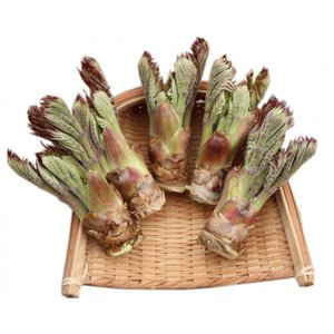 タラの芽(野生種):約100g【サイズ大】5〜6本|sotome
