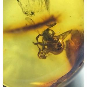 虫入り琥珀バルト海産 blapiz-0756-72|specimen-lapiz