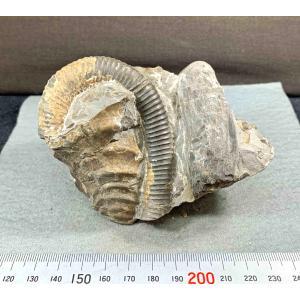 アンモナイト ディプロモセラスsp/テトラゴニテス 1488|specimen-lapiz
