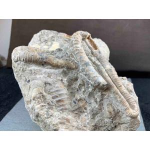 アンモナイト ディプロモセラス科群生/ポリプチコセラス 1489|specimen-lapiz