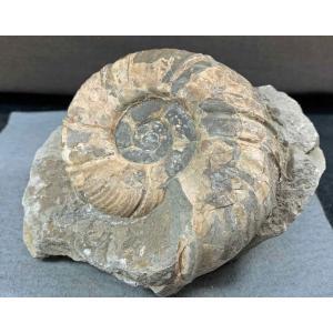 アンモナイト メゾプゾシア・パシフィカ 1496|specimen-lapiz