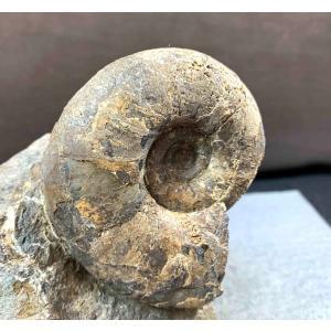 アンモナイト アナゴードリィセラスsp 1502|specimen-lapiz