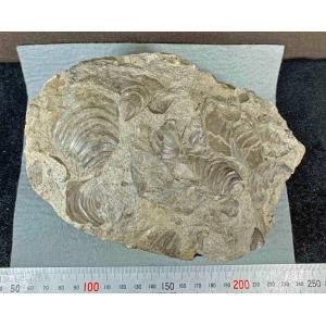 イノセラムス 二枚貝 1505|specimen-lapiz