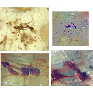 虫入り(アゴダチグモ)コパル5116(Archaea gracilicollis)|specimen-lapiz