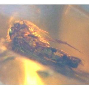 虫入り大型琥珀ドミニカ産 5312|specimen-lapiz