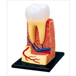アオシマ 立体パズル 4D VISION 人体解剖 歯根解剖モデル star-gate