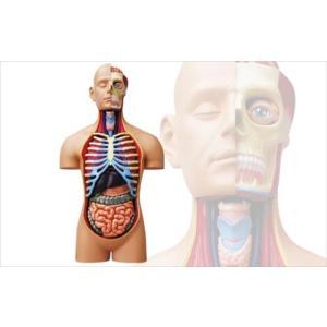 アオシマ 立体パズル 4D VISION 人体解剖 スーパーデラックス胴体解剖モデル star-gate