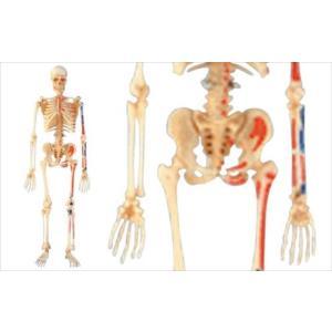 アオシマ 立体パズル 4D VISION 人体解剖 全身骨格解剖モデル star-gate