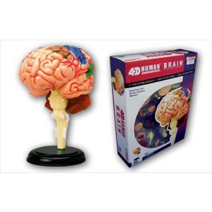 アオシマ 立体パズル 4D VISION 人体解剖 脳解剖モデル star-gate
