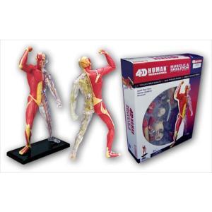 アオシマ 立体パズル 4D VISION 人体解剖 筋肉と骨格解剖モデル star-gate