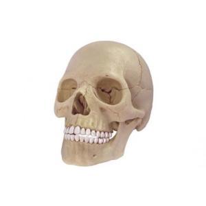 アオシマ 4D VISION 立体パズル No.23 人体解剖モデル 1/2 頭蓋骨解剖モデル star-gate