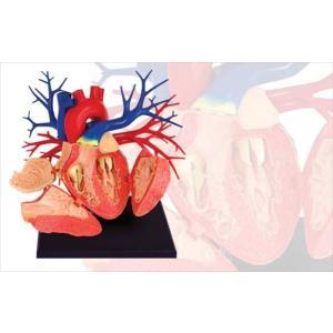 アオシマ 立体パズル 4D VISION 人体解剖 DX心臓解剖モデル star-gate
