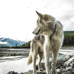 犬 首輪  ウルフギャング WOLFGANG LokiWolf Sサイズ アメリカンメイド starry 07