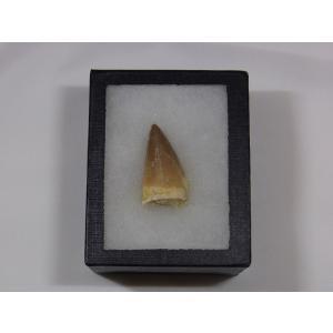 モササウルスの歯化石 stonesclub