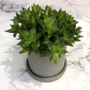 誕生日  多肉植物 セダム 寄せ植え 開店祝 観葉植物 自宅 お届け日時指定可能【ハオルチア】