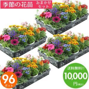 元気でフレッシュな花苗を取り揃えました♪ 花壇や寄せ植えが色鮮やかに出来上がります♪  ニチニチソウ...