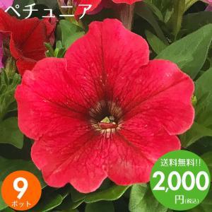 元気でフレッシュなペチュニアを9ポット取り揃えました♪ 花壇や寄せ植えが色鮮やかに出来上がります♪ ...