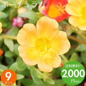 元気でフレッシュなポーチュラカを9ポット取り揃えました♪ 花壇や寄せ植えが色鮮やかに出来上がります♪...