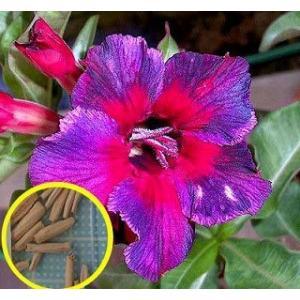 アデニウム・オベスム 'カレイドスコープ'(ADENIUM OBESUM kaleidoscope)の種子