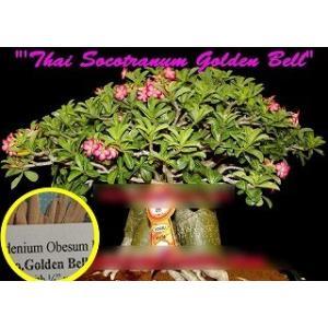 アデニウム・ソコトラナム 'ゴールデン・ベル'(ADENIUM SOCOTRANUM 'GOLDEN BELL')の種子