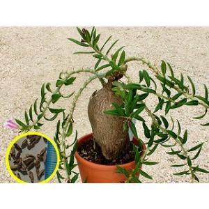 パキポディウム・ビスピノーサムの種子5粒 PACHYPODIUM bispinosum  数量1は種...
