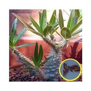 パキポディウム象牙宮(Pachypodium Rosulatum Gracilis)の種子