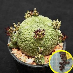 プセウドリトス(シュードリトス)・ミギウルティヌスの種子5粒 Pseudolithos migiur...