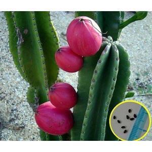 セレウス・ペルビアン・アップル・カクタスの種子10粒 Cereus Repandus Peruvia...