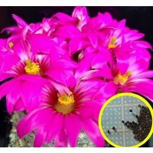 クラインジア(マミラリア) 麗光殿の種子10粒  krainzia guelzowiana (= M...