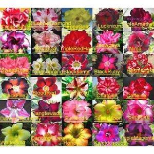 30種から自由に選べるアデニウム・オベスム種子ミックス10粒単位セット(各種子ラベル付き)