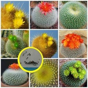 ブラジリカクタス属(Brasilicactus)種子ミックス