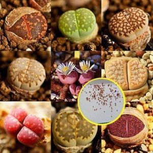 リトープスの種子ミックス