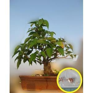 菩提樹(Bodhi Tree (Ficus Religiosa))の種子