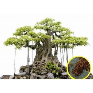 望みを叶える木 フィカス・ベンガレンシス(ベンガルボダイジュ)の種子
