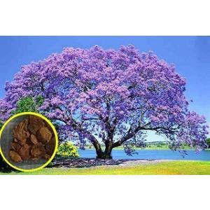 ジャカランダ・ミモシフォリア(キリモドキ)(Jacaranda Mimosifolia)の種子