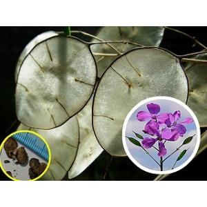 ルナリア 合田草 (ごうだそう)(Lunaria Biennis)の種子