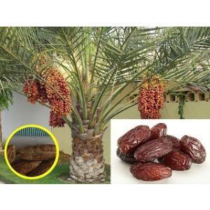 ナツメヤシ(Date Palm (Phoenix Dactylifera))の種子