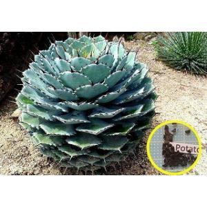 アガベ・ポタトルム(雷神)の種子10粒 Agave Potatorum  数量1は種子10粒  仕入...