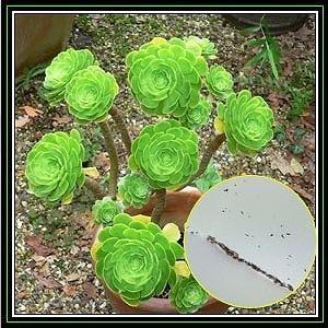 アエオニウム アルボレウム(Arboreum)の種子