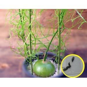 ボウィエア ボルビリス 蒼角殿の種子10粒 Bowiea Volubilis  数量1は種子10粒で...