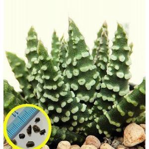 ハオルチア・マキシマ・ドーナツ(HAWORTHIA maxima DONUTS)の種子