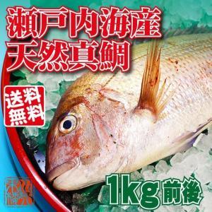 瀬戸内海産 活け締め 天然真鯛 1kg前後 (贈答用)|suikinkarou