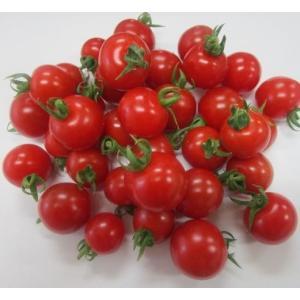 完熟ミニトマト 1.5kg (予約販売) フルーツトマト|suisainet