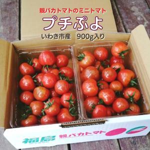 [予約]プチぷよ 約1kg入り 親バカトマトのミニトマト いわき市産  11月下旬〜発送 |suketoma