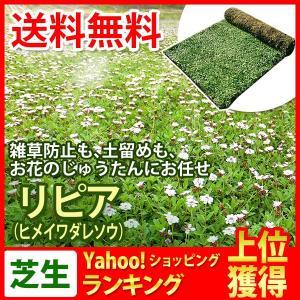 芝生 天然芝 花マット リピア ヒメイワダレソウ ロール (芝生 通販)|sun-wa
