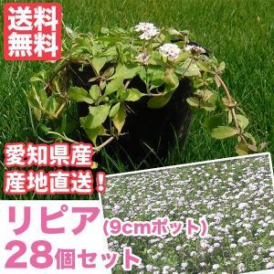 芝生 天然芝 花マット リピア(ヒメイワダレソウ) 9cmポット×28個 花マット グランドカバー sun-wa