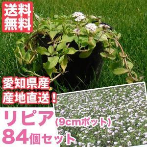 芝生 天然芝 花マット リピア(ヒメイワダレソウ) 9cmポット×84個 花マット グランドカバー sun-wa