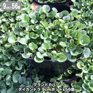 グランドカバー ダイカンドラ 9cmポットx56個 (芝生 通販)
